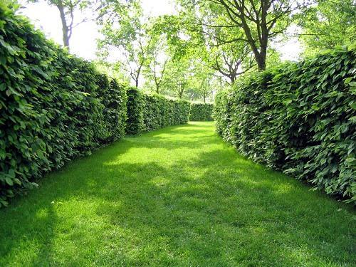 Живая изгородь из кустов