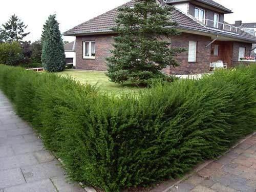 Живая изгородь вокруг дома
