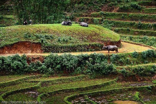 Домашний скот в горах
