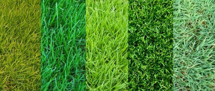 Основные виды газонных трав